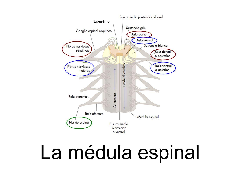 La médula espinal Epéndimo