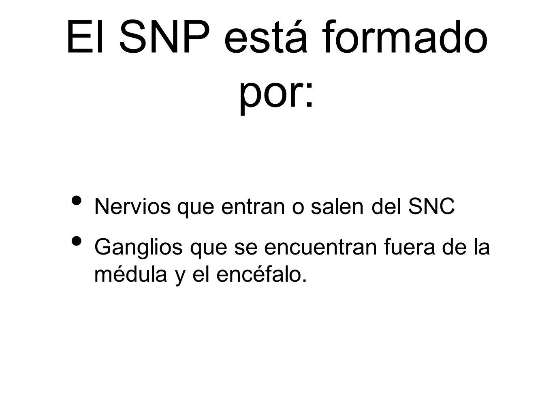 El SNP está formado por: Nervios que entran o salen del SNC Ganglios que se encuentran fuera de la médula y el encéfalo.