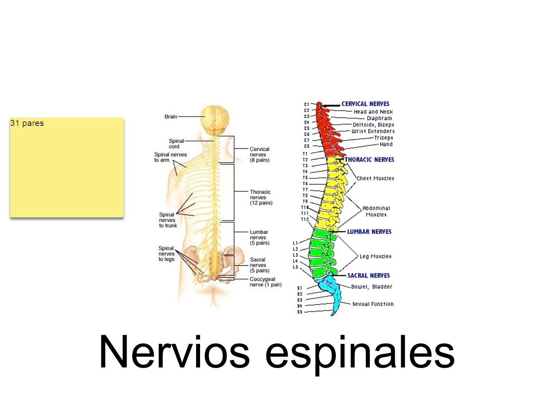 Nervios espinales 31 pares
