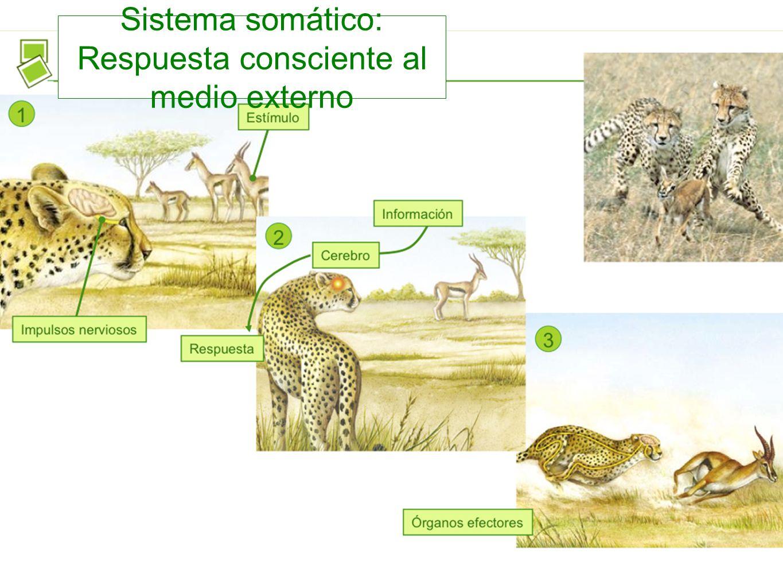 Sistema somático: Respuesta consciente al medio externo