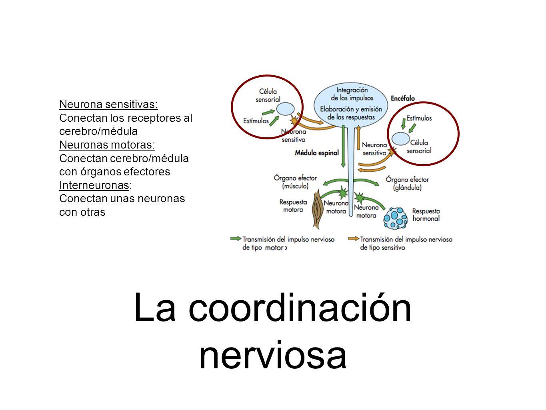 La coordinación nerviosa Neurona sensitivas: Conectan los receptores al cerebro/médula Neuronas motoras: Conectan cerebro/médula con órganos efectores