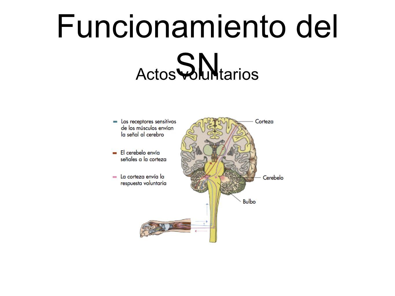 Funcionamiento del SN Actos voluntarios
