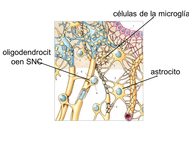 astrocito células de la microglía oligodendrocit oen SNC