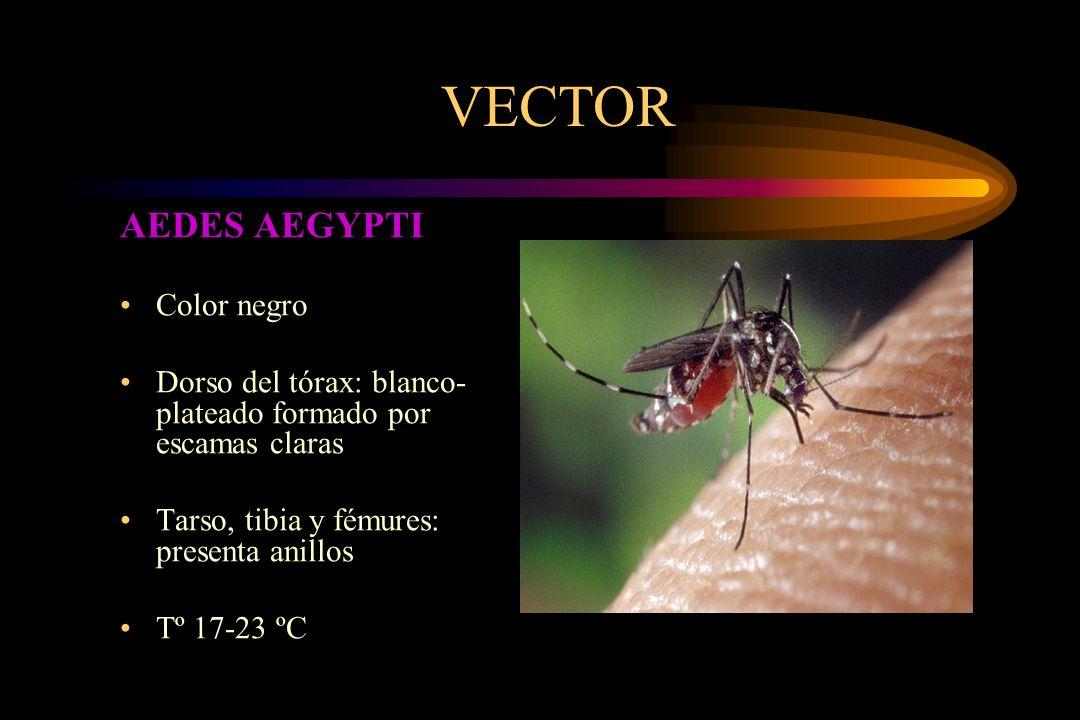 VECTOR AEDES AEGYPTI Color negro Dorso del tórax: blanco- plateado formado por escamas claras Tarso, tibia y fémures: presenta anillos Tº 17-23 ºC