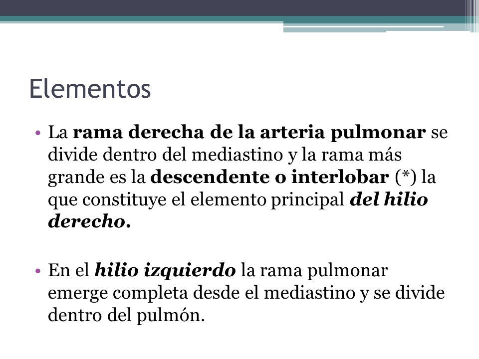 Elementos La rama derecha de la arteria pulmonar se divide dentro del mediastino y la rama más grande es la descendente o interlobar (*) la que consti