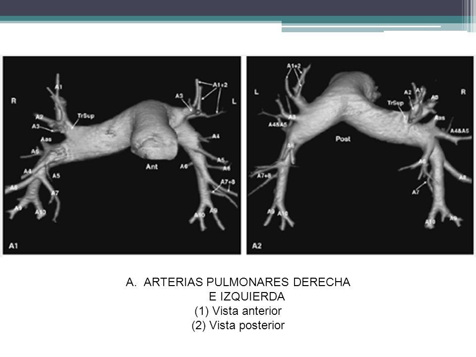 r A.ARTERIAS PULMONARES DERECHA E IZQUIERDA (1)Vista anterior (2)Vista posterior