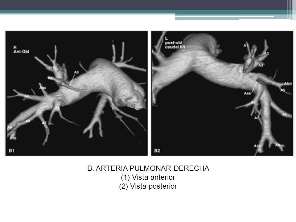 B. ARTERIA PULMONAR DERECHA (1)Vista anterior (2)Vista posterior