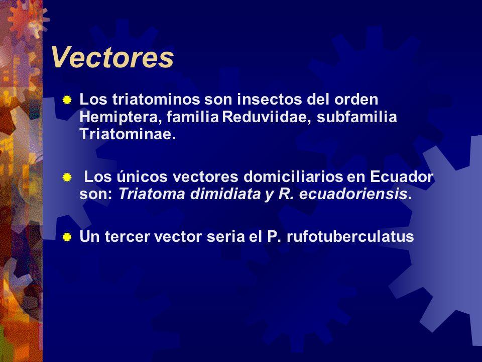 Vectores Los triatominos son insectos del orden Hemiptera, familia Reduviidae, subfamilia Triatominae. Los únicos vectores domiciliarios en Ecuador so