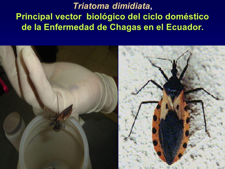 Triatoma dimidiata, Principal vector biológico del ciclo doméstico de la Enfermedad de Chagas en el Ecuador.