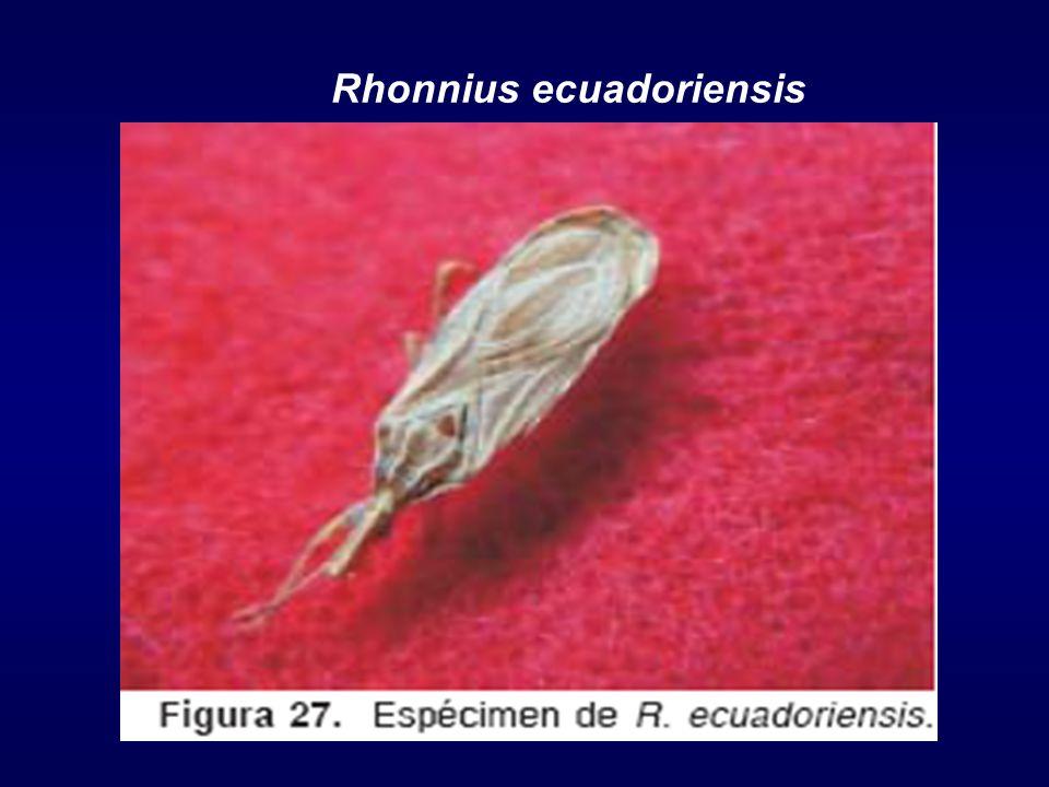 Rhonnius ecuadoriensis