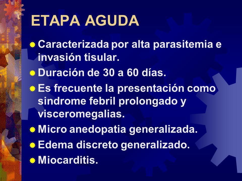ETAPA AGUDA Caracterizada por alta parasitemia e invasión tisular. Duración de 30 a 60 días. Es frecuente la presentación como sindrome febril prolong
