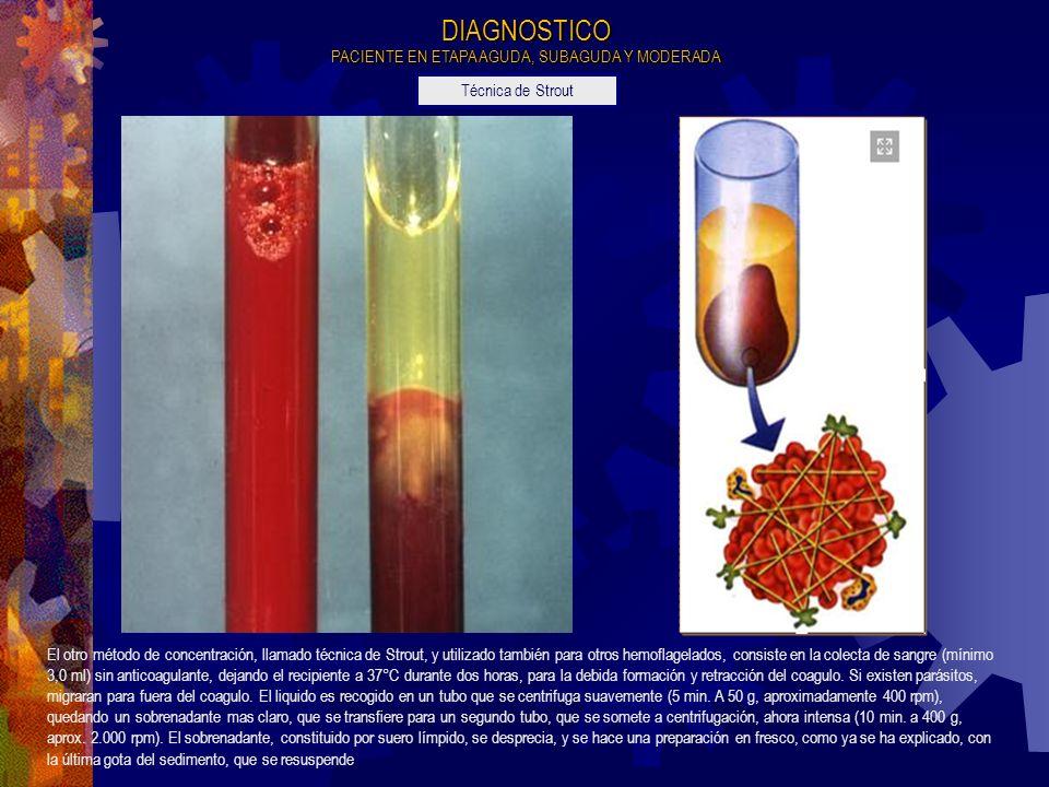 El otro método de concentración, llamado técnica de Strout, y utilizado también para otros hemoflagelados, consiste en la colecta de sangre (mínimo 3,