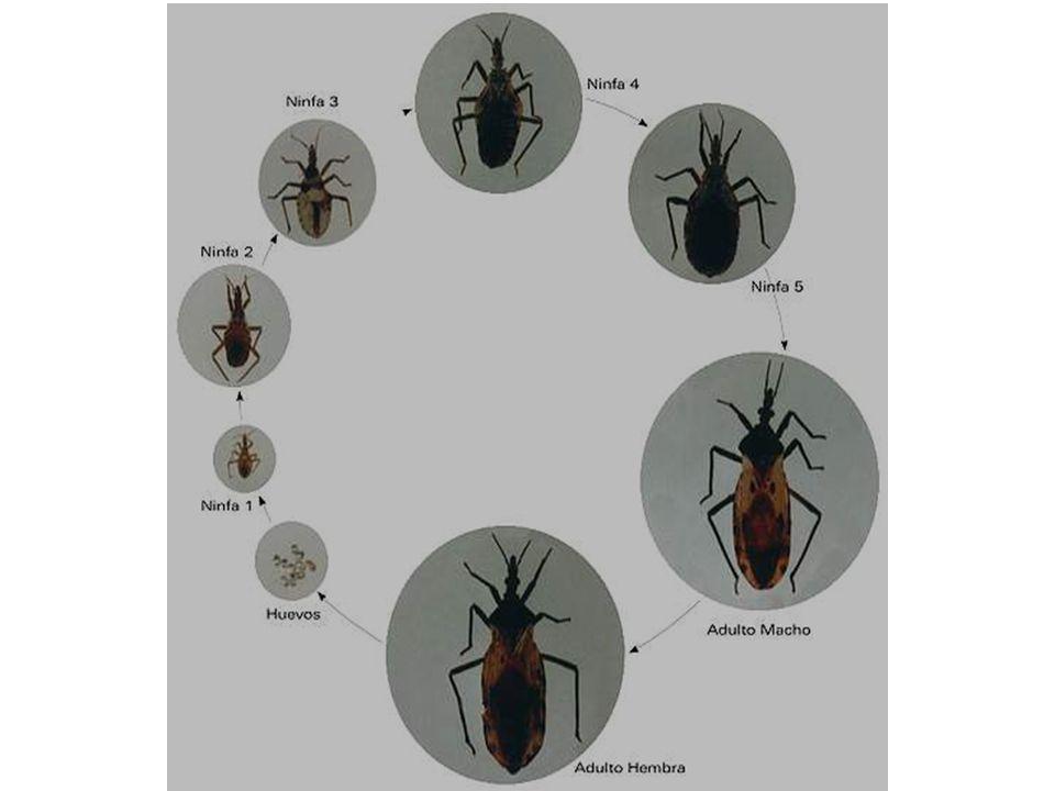 Ciclo de Trypanosoma cruzi domiciliario y silvestre