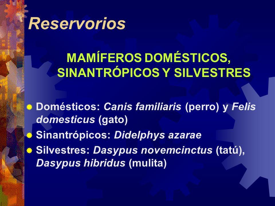 Reservorios MAMÍFEROS DOMÉSTICOS, SINANTRÓPICOS Y SILVESTRES Domésticos: Canis familiaris (perro) y Felis domesticus (gato) Sinantrópicos: Didelphys a