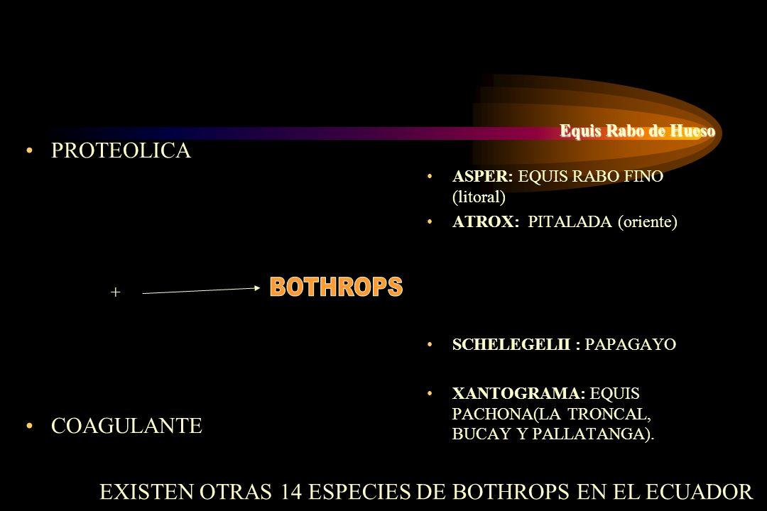 PROTEOLICA + COAGULANTE Equis Rabo de Hueso ASPER: EQUIS RABO FINO (litoral) ATROX: PITALADA (oriente) SCHELEGELII : PAPAGAYO XANTOGRAMA: EQUIS PACHON