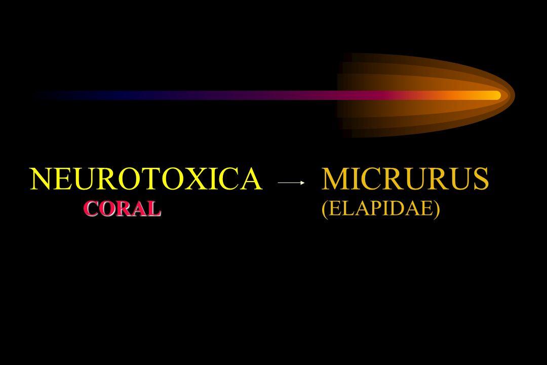 CORAL NEUROTOXICA MICRURUS CORAL(ELAPIDAE)