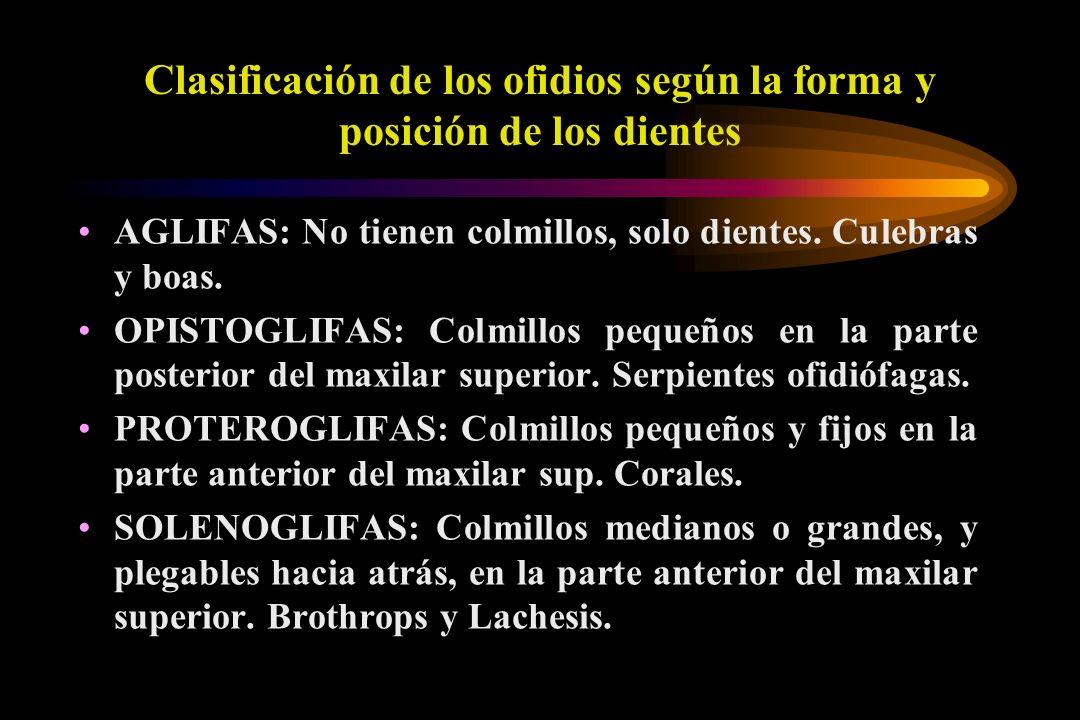 Clasificación de los ofidios según la forma y posición de los dientes AGLIFAS: No tienen colmillos, solo dientes. Culebras y boas. OPISTOGLIFAS: Colmi