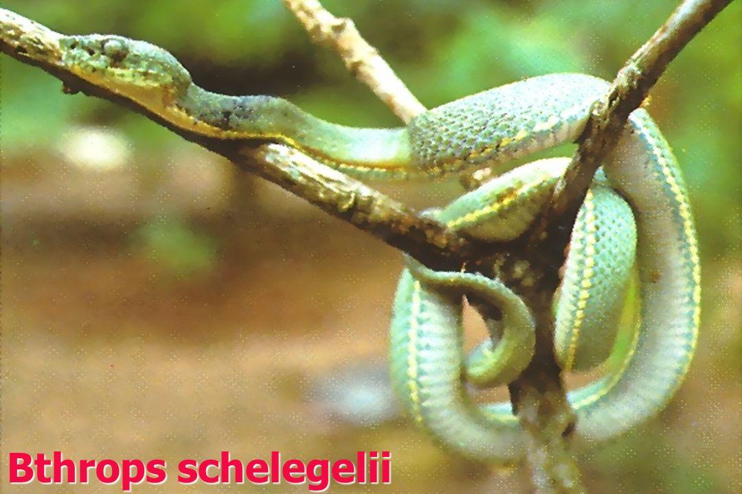 Bthrops schelegelii