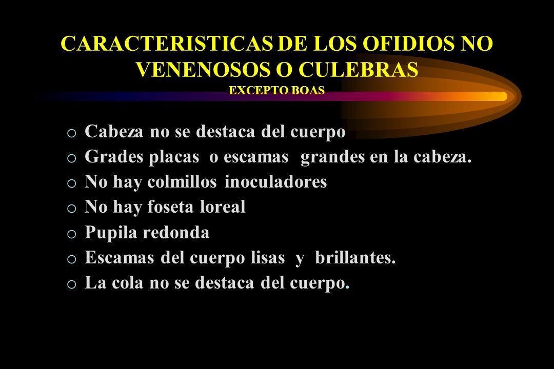 CARACTERISTICAS DE LOS OFIDIOS NO VENENOSOS O CULEBRAS EXCEPTO BOAS o Cabeza no se destaca del cuerpo o Grades placas o escamas grandes en la cabeza.