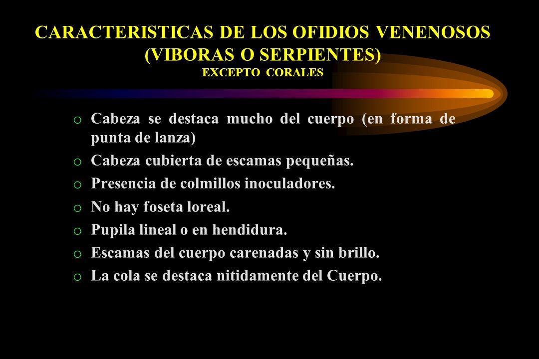 CARACTERISTICAS DE LOS OFIDIOS VENENOSOS (VIBORAS O SERPIENTES) EXCEPTO CORALES o Cabeza se destaca mucho del cuerpo (en forma de punta de lanza) o Ca