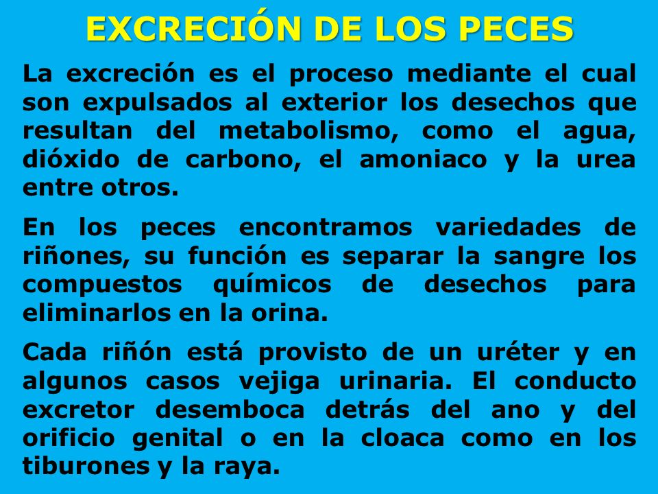 EXCRECIÓN DE LOS PECES La excreción es el proceso mediante el cual son expulsados al exterior los desechos que resultan del metabolismo, como el agua,