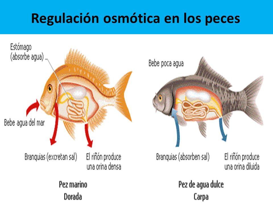 Regulación osmótica en los peces