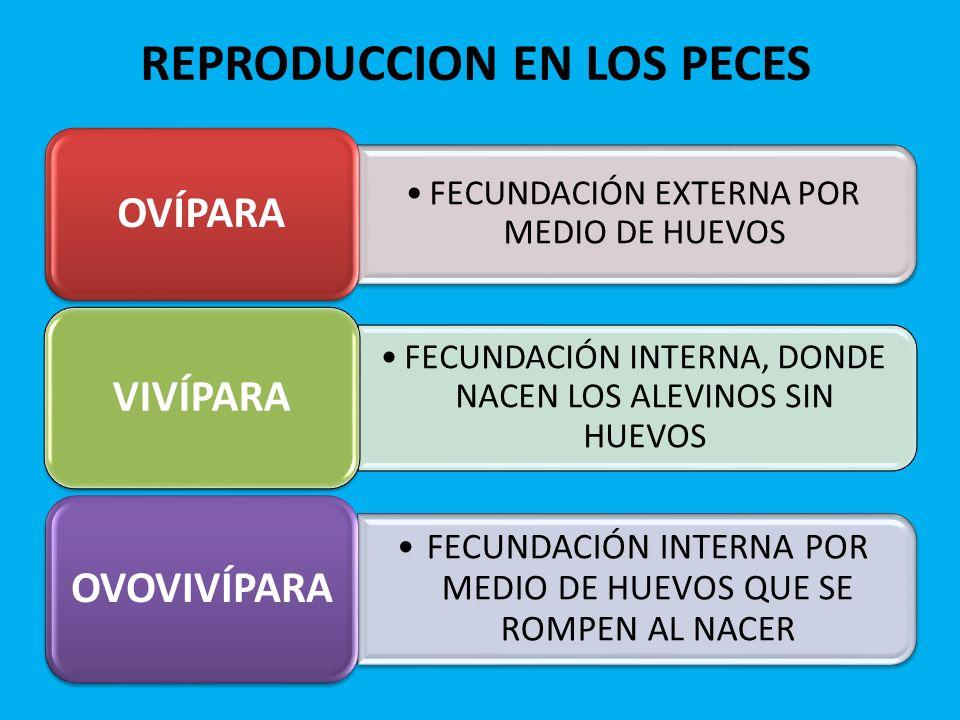 REPRODUCCION EN LOS PECES FECUNDACIÓN EXTERNA POR MEDIO DE HUEVOS OVÍPARA FECUNDACIÓN INTERNA, DONDE NACEN LOS ALEVINOS SIN HUEVOS VIVÍPARA FECUNDACIÓ