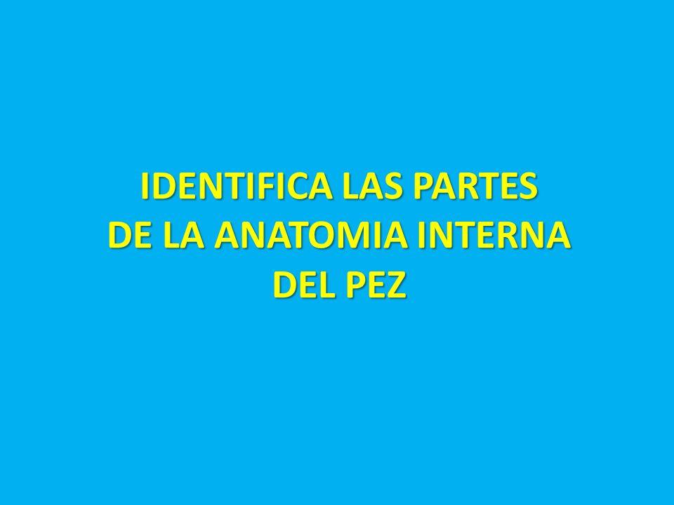 IDENTIFICA LAS PARTES DE LA ANATOMIA INTERNA DEL PEZ