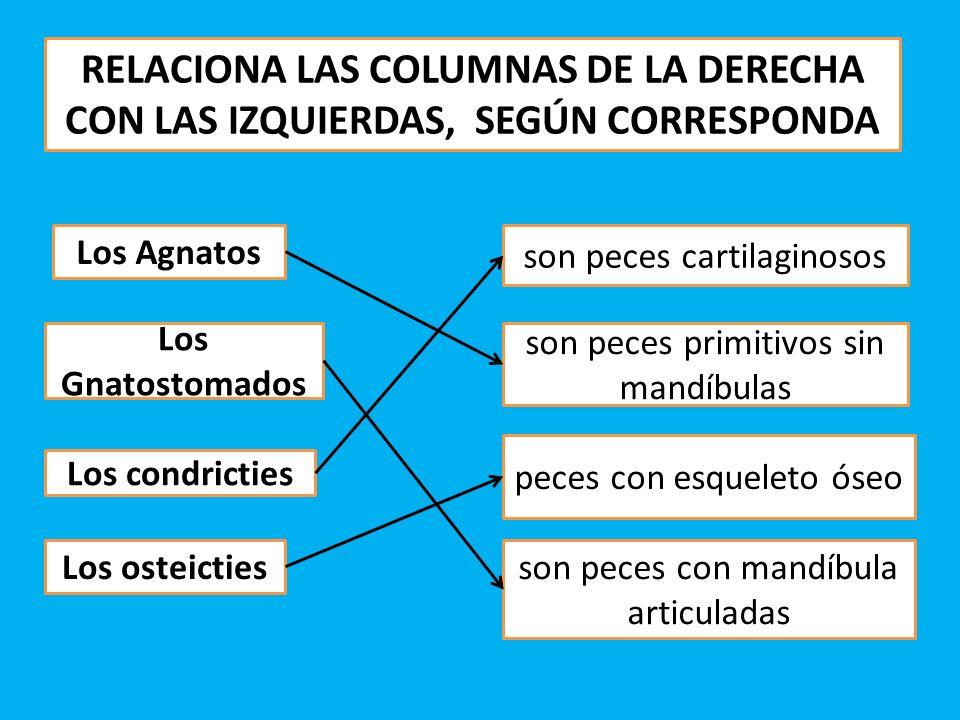 RELACIONA LAS COLUMNAS DE LA DERECHA CON LAS IZQUIERDAS, SEGÚN CORRESPONDA Los Agnatos Los Gnatostomados Los condricties Los osteicties son peces prim