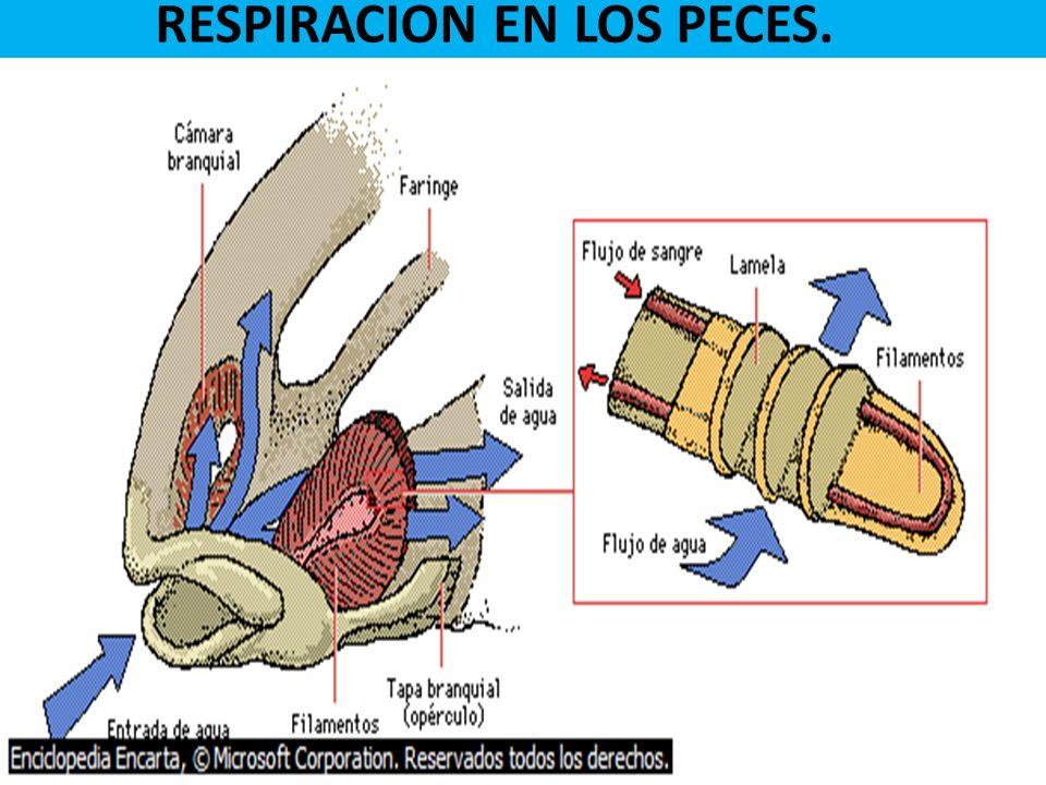 RESPIRACION EN LOS PECES.