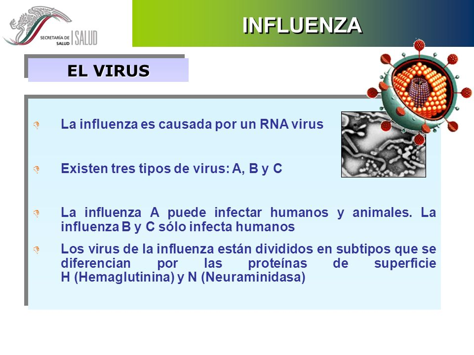 INFLUENZA EL VIRUS D La influenza es causada por un RNA virus D Existen tres tipos de virus: A, B y C D La influenza A puede infectar humanos y animal