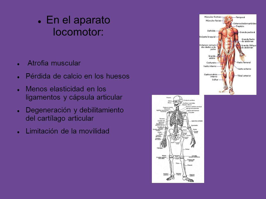 En el aparato locomotor: Atrofia muscular Pérdida de calcio en los huesos Menos elasticidad en los ligamentos y cápsula articular Degeneración y debil
