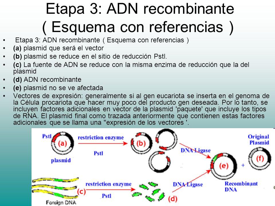 Etapa 3: ADN recombinante ( Esquema con referencias ) (a) plasmid que será el vector (b) plasmid se reduce en el sitio de reducción Pstl. (c) La fuent