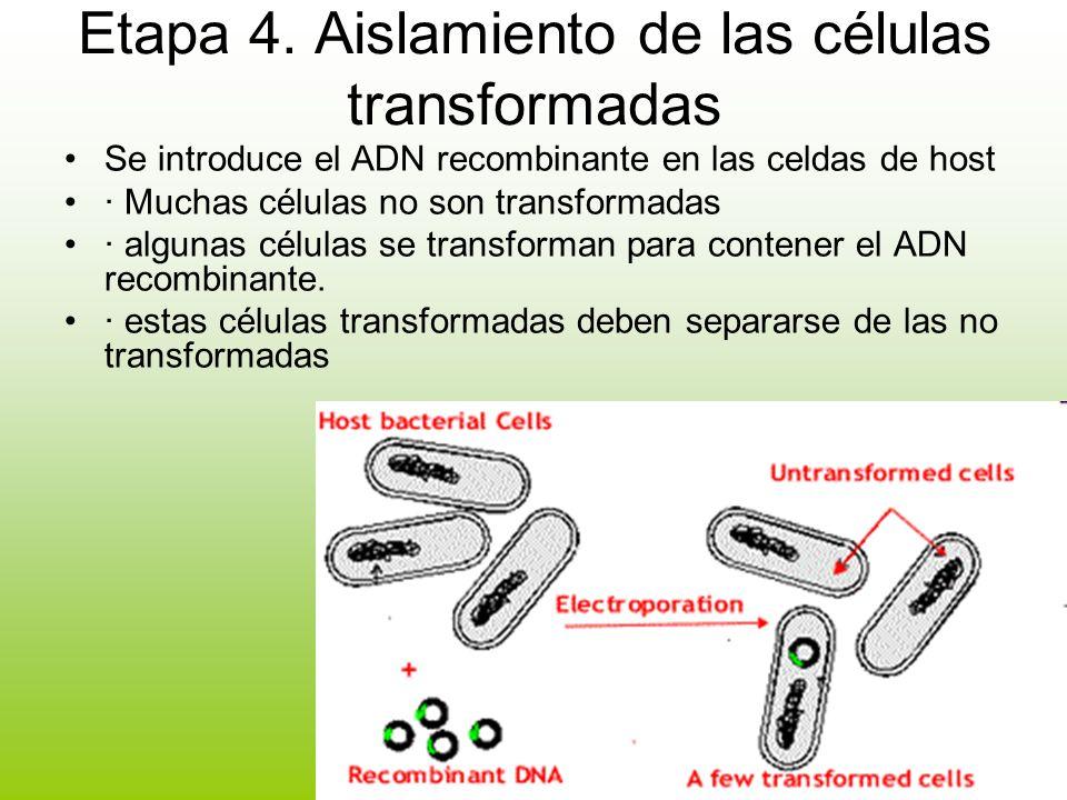 Etapa 4. Aislamiento de las células transformadas Se introduce el ADN recombinante en las celdas de host · Muchas células no son transformadas · algun