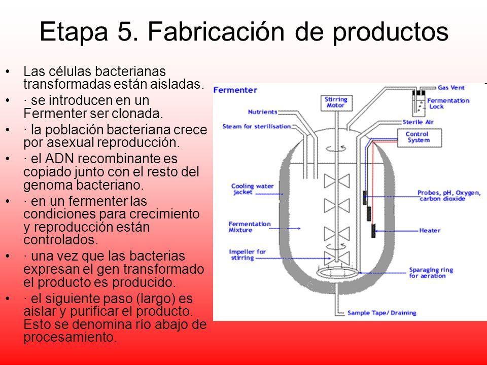 Etapa 5. Fabricación de productos Las células bacterianas transformadas están aisladas. · se introducen en un Fermenter ser clonada. · la población ba