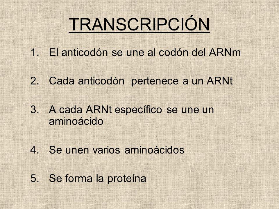 TRANSCRIPCIÓN 1.El anticodón se une al codón del ARNm 2.Cada anticodón pertenece a un ARNt 3.A cada ARNt específico se une un aminoácido 4.Se unen var