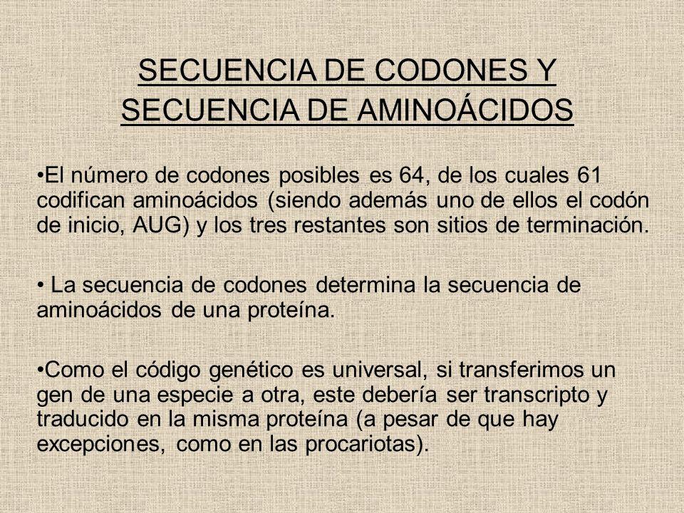 SECUENCIA DE CODONES Y SECUENCIA DE AMINOÁCIDOS El número de codones posibles es 64, de los cuales 61 codifican aminoácidos (siendo además uno de ello