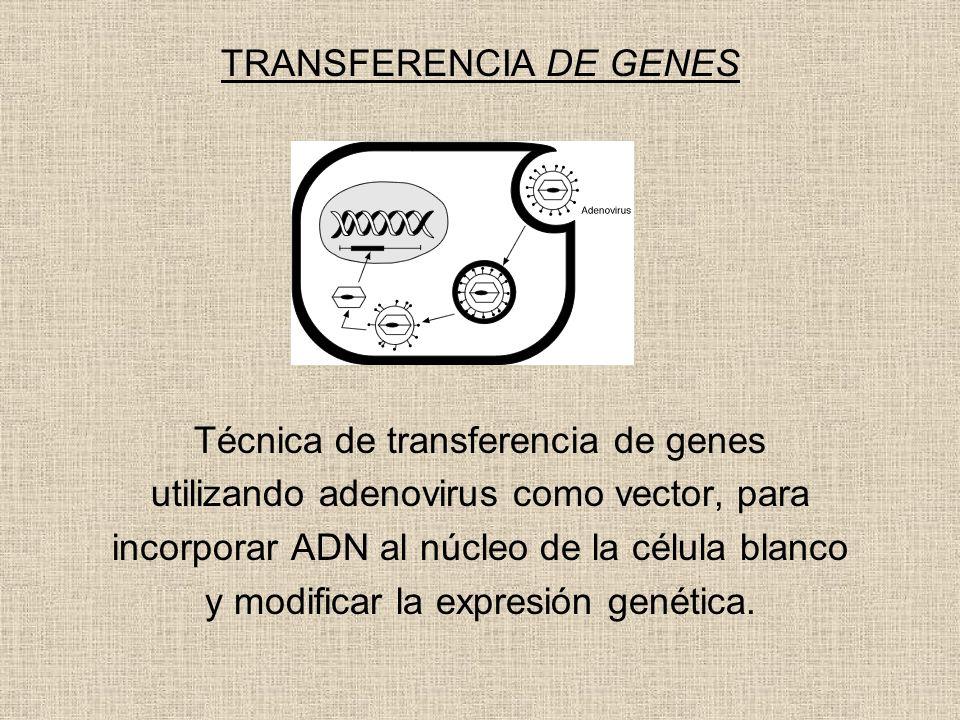TRANSFERENCIA DE GENES Técnica de transferencia de genes utilizando adenovirus como vector, para incorporar ADN al núcleo de la célula blanco y modifi