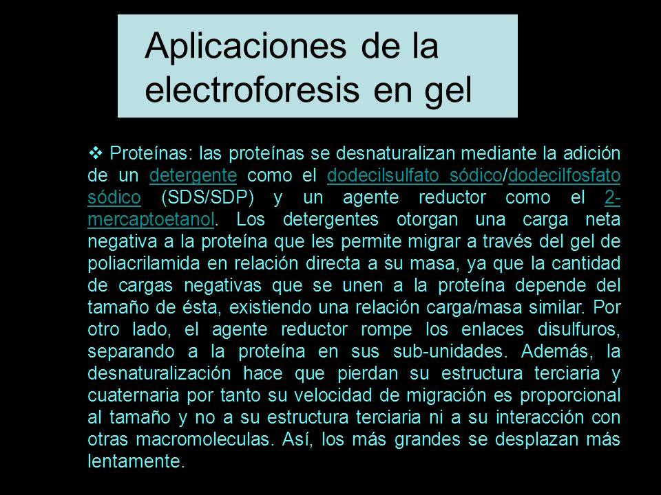 Aplicaciones de la electroforesis en gel Proteínas: las proteínas se desnaturalizan mediante la adición de un detergente como el dodecilsulfato sódico/dodecilfosfato sódico (SDS/SDP) y un agente reductor como el 2- mercaptoetanol.