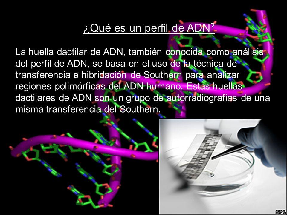 ¿Qué es un perfil de ADN ? La huella dactilar de ADN, también conocida como análisis del perfil de ADN, se basa en el uso de la técnica de transferenc