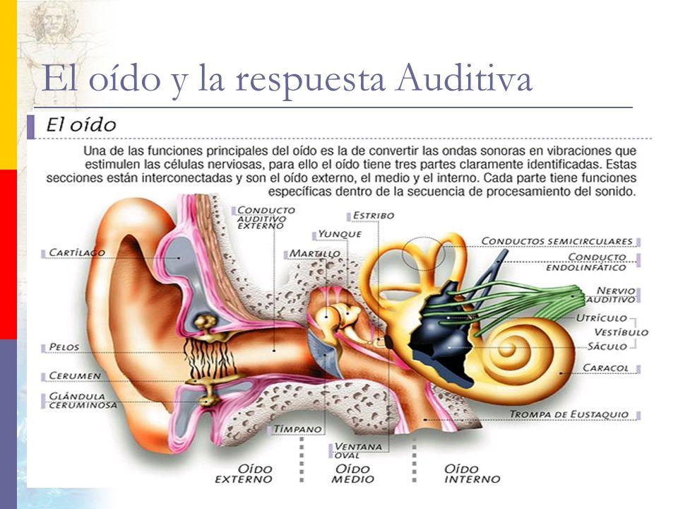 El oído y la respuesta Auditiva El oído es un órgano que cumple dos funciones fundamentales, nos permite captar el estimulo de las ondas sonoras y con