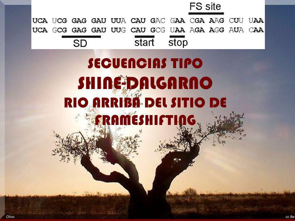 SECUENCIAS TIPO SHINE-DALGARNO RIO ARRIBA DEL SITIO DE FRAMESHIFTING