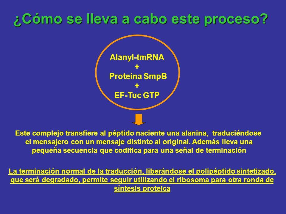 ¿Cómo se lleva a cabo este proceso? Alanyl-tmRNA + Proteína SmpB + EF-Tuc GTP Este complejo transfiere al péptido naciente una alanina, traduciéndose