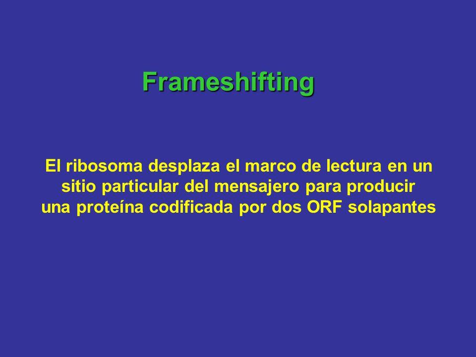 Frameshifting El ribosoma desplaza el marco de lectura en un sitio particular del mensajero para producir una proteína codificada por dos ORF solapant