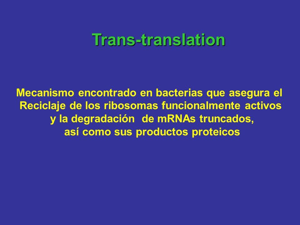 Trans-translation Mecanismo encontrado en bacterias que asegura el Reciclaje de los ribosomas funcionalmente activos y la degradación de mRNAs truncad