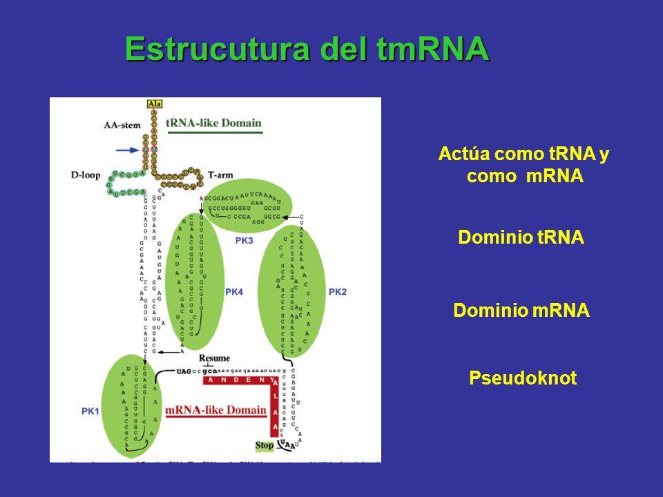 Estrucutura del tmRNA Actúa como tRNA y como mRNA Dominio tRNA Dominio mRNA Pseudoknot
