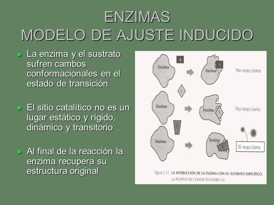 ENZIMAS MODELO DE AJUSTE INDUCIDO La enzima y el sustrato sufren cambos conformacionales en el estado de transición La enzima y el sustrato sufren cam