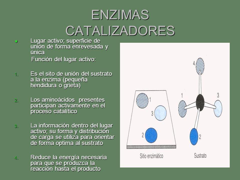 ENZIMAS CATALIZADORES Lugar activo; superficie de unión de forma enrevesada y única Lugar activo; superficie de unión de forma enrevesada y única Func