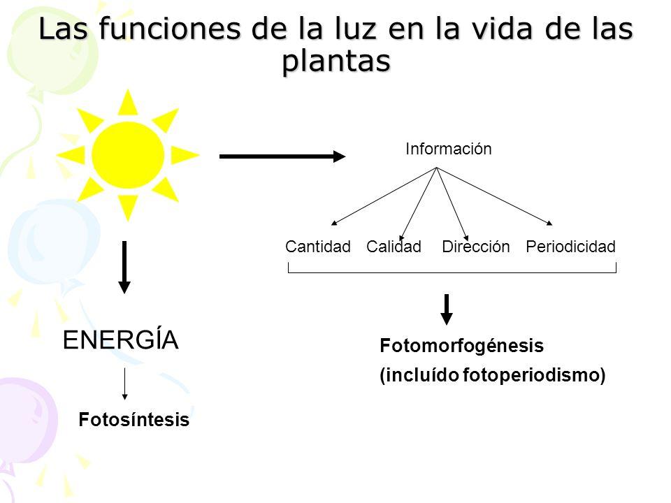 Las funciones de la luz en la vida de las plantas ENERGÍA Fotosíntesis Información Cantidad Calidad Dirección Periodicidad Fotomorfogénesis (incluído