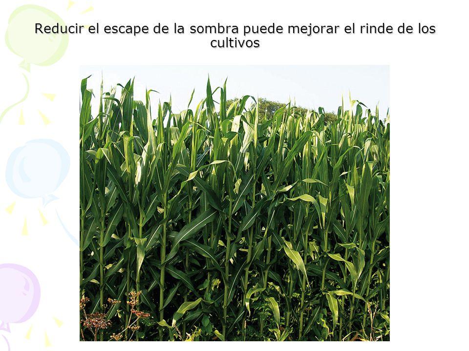 Reducir el escape de la sombra puede mejorar el rinde de los cultivos